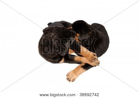 An isolated rottweiler puppies on a white background.