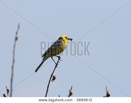 Yellow Wagtail With Food In It\'S Beak