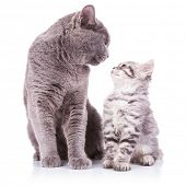 stock photo of pussy  - beautiful portrait of an adult english cat and a kitten looking deep into eachother - JPG
