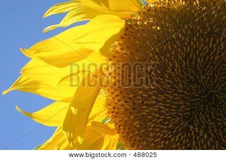 Sunflower - Close