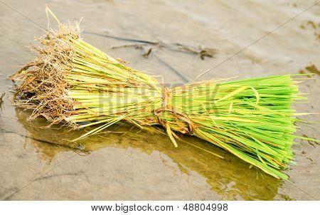 Bushels Of Rice Seedlings.