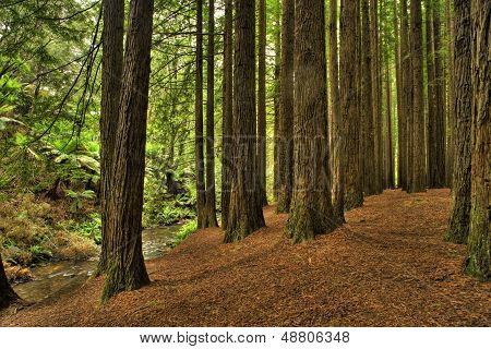 Californian Redwood Forest