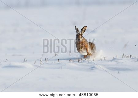 Wild rabbit running in the snow