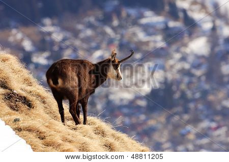 Carpathian Chamois in Bucegi Mountains Natural Park