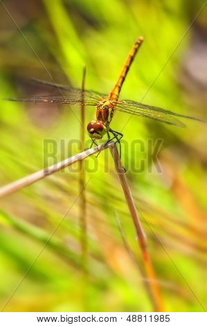 Black Darter - females
