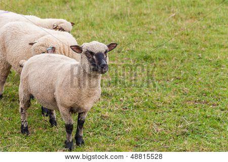 Sheep On Farm In England.