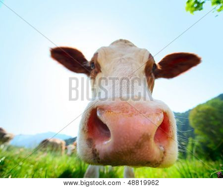 Head of cow walking on a green meadow at sunny day