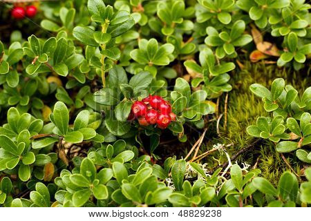 Wild Lingonberry / Cowberry Plants