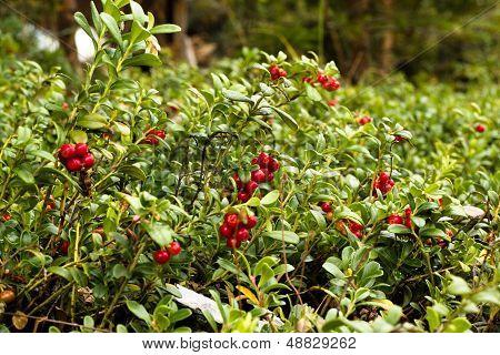 Lingonberries / Cowberries On Forest Floor