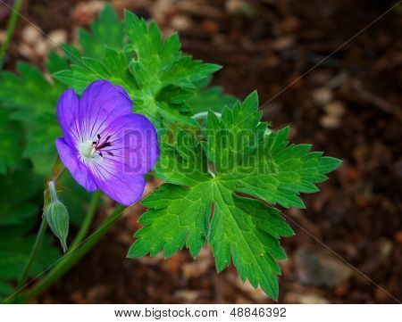 Purple Geranium single flower with green leaves and soft woody background