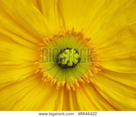 Macro close up of a yellow Iceland Poppy