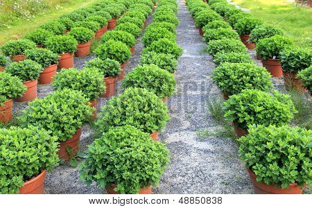 Rows of potted plants at nursery
