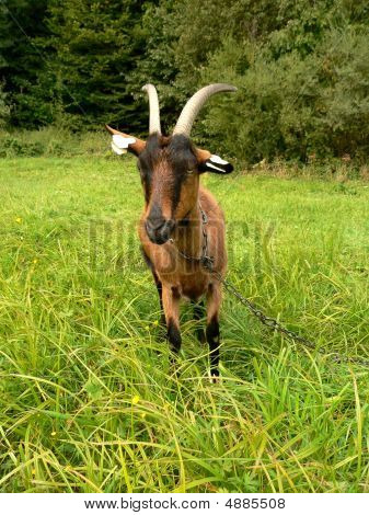 Brown Black Goat