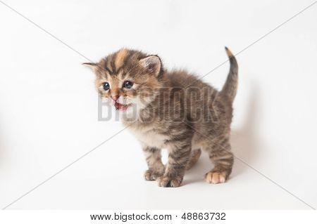 Feline kitten meowing