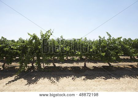 Cherry trees growing on farmland against clear sky