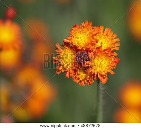 Orange Hawkweed Bud