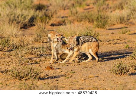 Pair Of Jackal Fight Over Food In The Kalahari Angry