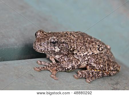 Cute Little Gray Tree Frog
