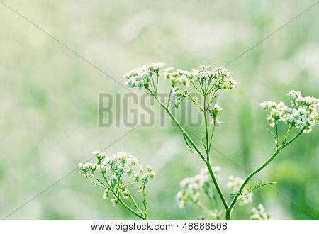 Queen Annes Lace In A Lush Green Summer Meadow
