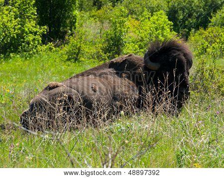 Large American Bison At The National Bison Range In Montana, Usa