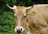 foto of nostril  - light brown cow chewing with tongue in the nostril - JPG