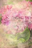 image of hydrangea  - A beautiful pink hydrangea flower grunge background - JPG