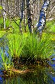 Tufted sedge - Birch