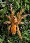 picture of baby spider  - A baby tarantula is crawling over moss - JPG