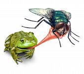 stock photo of time flies  - Frog catching bug with a sticky tongue shooting out as a nature concept of the natural cycle of life where a green amphibian eats a fly insect for survival on a white background - JPG
