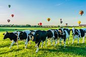 CHAMBLEY, FRANCE - JULY 31: Group of cows in the field at the Mondial hot Air Ballon reunion in Lorr