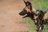 stock photo of vicious  - Wild dog standing looking for prey to hunt - JPG