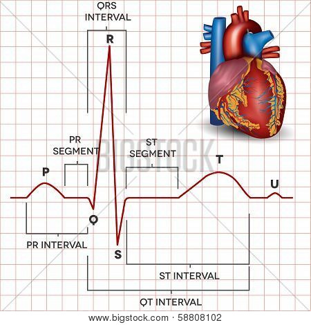 Human Heart Normal Sinus Rhythm And Heart Anatomy