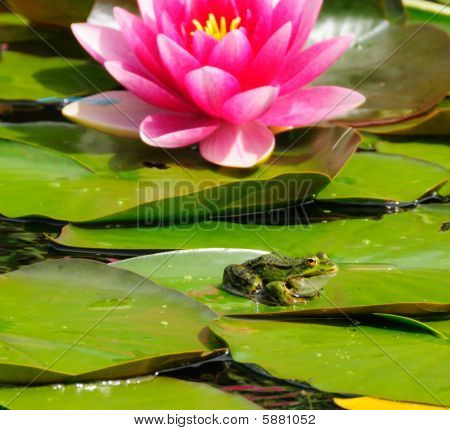 Frog And Lily