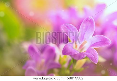 Lila flower details. Real photographs of beautiful flowers campanula portenschlagiana.