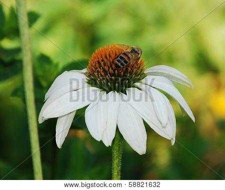 Echinacea Purpurea With Bee