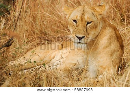 KENYA - AUGUST 13: An African Lion (Panthera leo) on the Masai Mara National Reserve safari in southwestern Kenya.