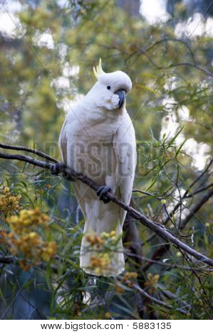Cockatoo on a tree - 2
