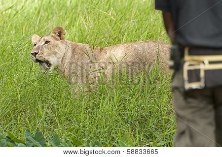 Lioness In Front Of Park Ranger