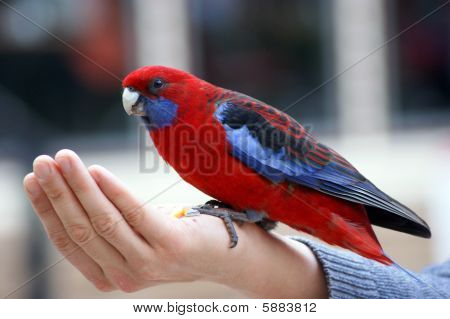 Feeding parrot rosella
