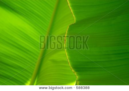 Banana Palm Tree Leaf