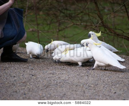 A flock of cockatoos