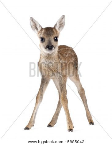 Roe Deer Fawn  Capreolus Capreolus 15 Days Old  against white background