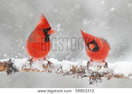 Cardinals In Snow