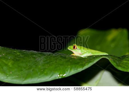 Profile Of Red Eye Tree Frog