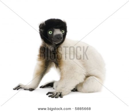 Side View Of Young Crowned Sifaka, Propithecus Coronatus, Sitting Against White Background