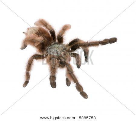 Antilles Pinktoe Tarantula - Avicularia Metallica