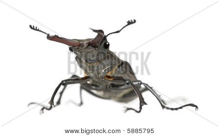 Male European Stag Beetle, Lucanus Cervus, Against White Background, Studio Shot