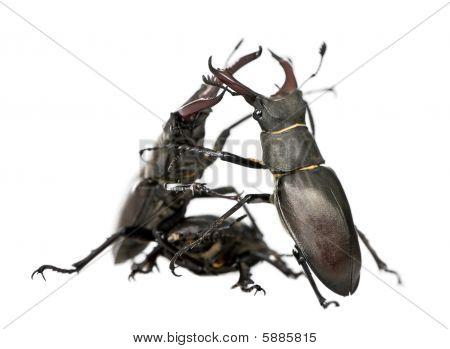 Male European Stag Beetles Fighting, Lucanus Cervus, Against White Background, Studio Shot