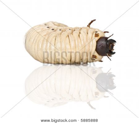 Larva Of A Hercules Beetle, Dynastes Hercules, Against White Background, Studio Shot