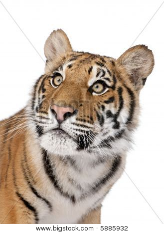 Close-up Portrait Of Bengal Tiger, Panthera Tigris Tigris, 1 Year Old, In Front Of White Background,